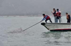 解救被困抹香鲸 网友点赞:每一个生命都是珍贵的