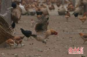 老人给鸡织毛衣 网友调侃:母鸡中的战斗机