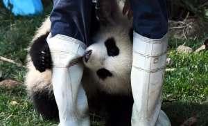 大熊猫奇一抱大腿成网红萌翻众粉丝